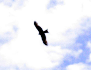 Eagle Soars in Tuva Sky: 2003 photo by Kent Dorsey