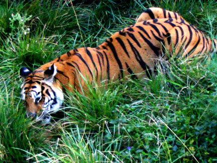 Power Animals and Totem Animals: Tiger as power   photo by Kent Dorsey